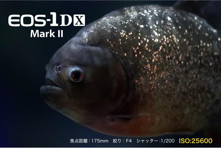 高感度_1DXmk2